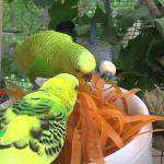 Muhabbet Kuşu Maydanoz Yer mi?