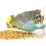 Muhabbet Kuşu Tasması