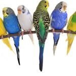 Muhabbet Kuşu Ne Yer?
