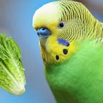 Muhabbet Kuşu Salatalık Yer mi?
